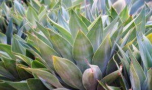 Agáve rastlina, kaktus