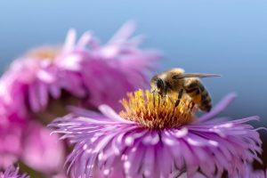 Včely zbierajú nektár, z ktorého vznikne med